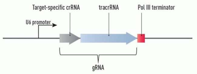 The gRNA cassette is expressed from the U6 promoter (a pol III promoter) as a single transcript and is comprised of crRNA and tracrRNA.