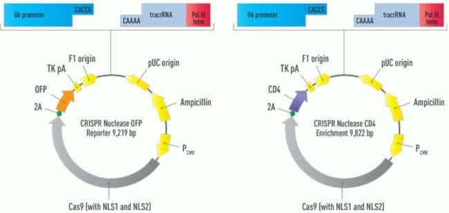 The vector is pre-linearized with 5 base pair overhangs for easy cloning of your double-stranded DNA oligo that encodes a target-specific crRNA. Maps are shown of the vectors with (A) OFP reporter and
