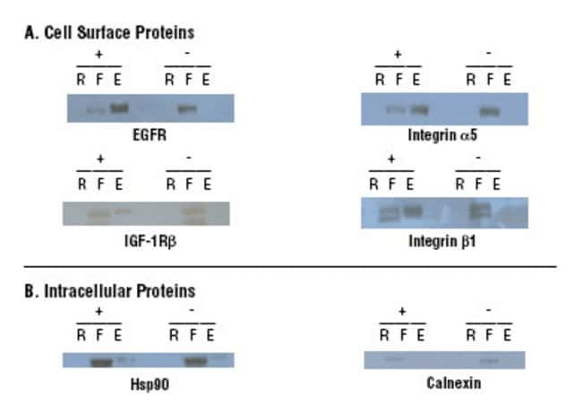 Panels are Western blot results for known cell surface proteins (Panel A) and intracellular proteins (Panel B) from HeLa cells processed using the Thermo Scientific Cell Surface Protein Isolation Kit.
