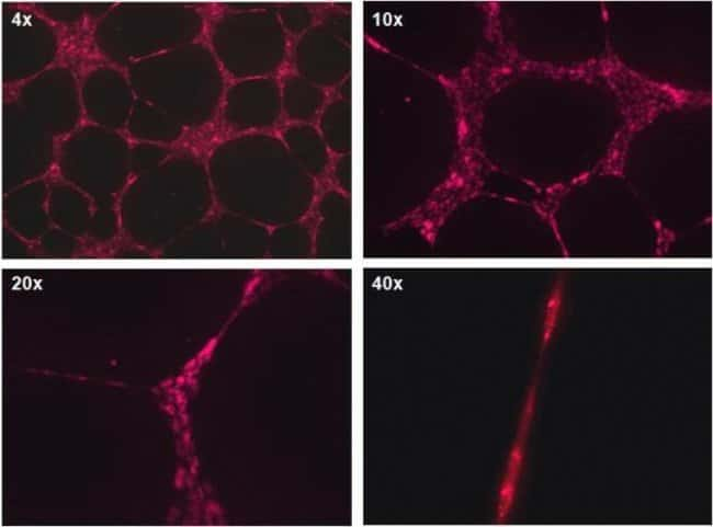 Angiogenesis determination using CellTracker™ Deep Red
