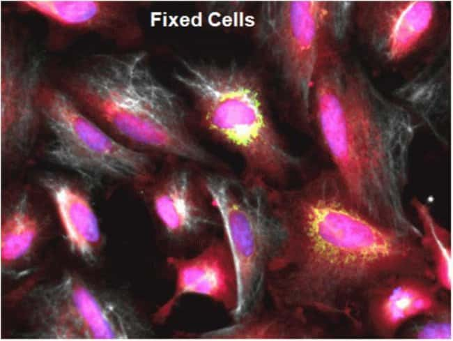 CellTracker™ Deep Red can be used for fixed cell multiplexing