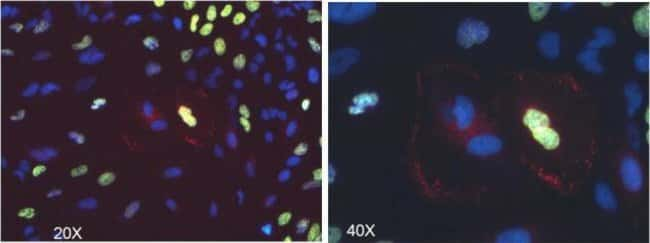 HeLa cells were transduced with CellLight® Early Endosome RFP (C10587).  After an overnight incubation, proliferation was detected using the Click-iT™ Plus EdU Alexa Fluor® 488 Imaging Kit (C10637).
