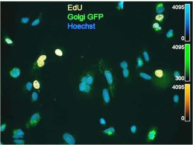 GFP and proliferation signal detected in HeLa cells