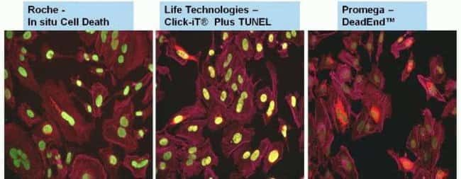 Comparison of Click-iT® Plus TUNEL assay with competitor assays