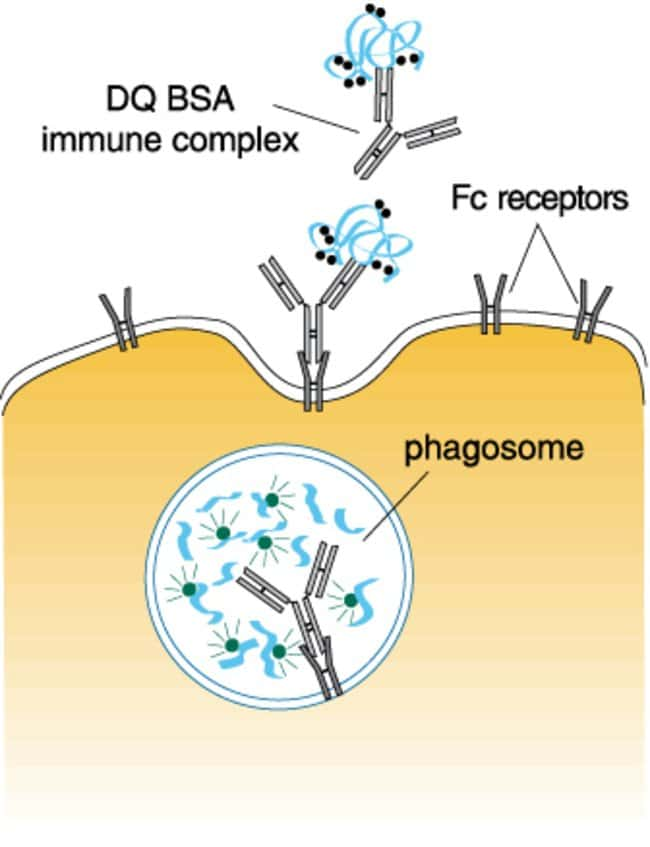 Immune complex of DQ™ BSA conjugate with an anti–bovine serum albumin antibody for the fluorescent detection of the Fc receptor–mediated phagocytosis pathway.
