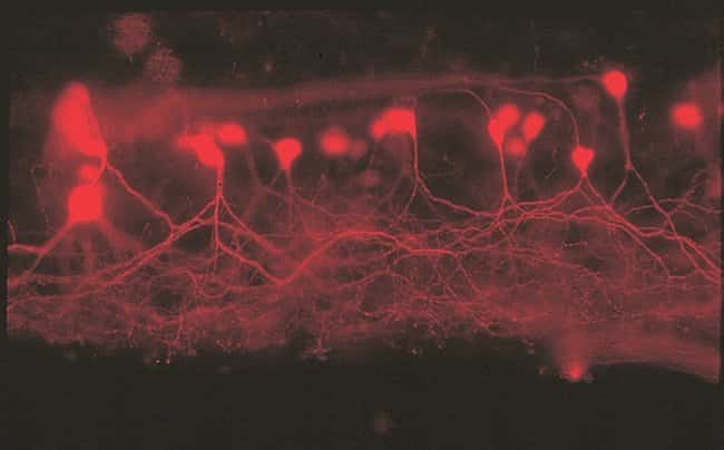 Secondary motor neurons in a spinal cord whole mount of a male western mosquitofish labeled with lysine-fixable 3000 MW Texas Red® dextran.