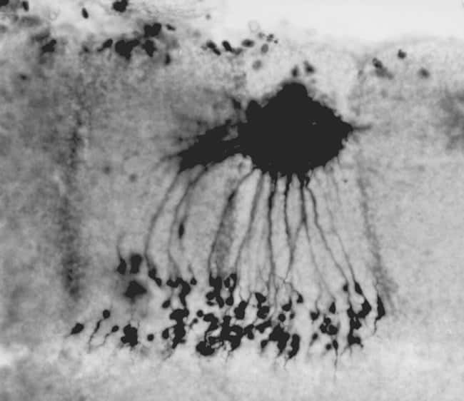 Motor neuron in a three-day chick embryo labeled with lysine-fixable, biotinylated 3000 MW dextran (BDA-3000, D7135)