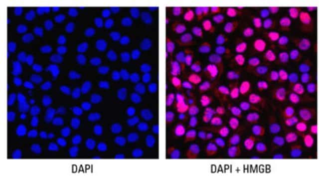 Dual imaging with DAPI and antibody probes