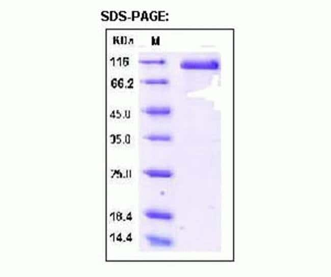 SDS-PAGE analysis of Delta-Like 4 (DLL4)