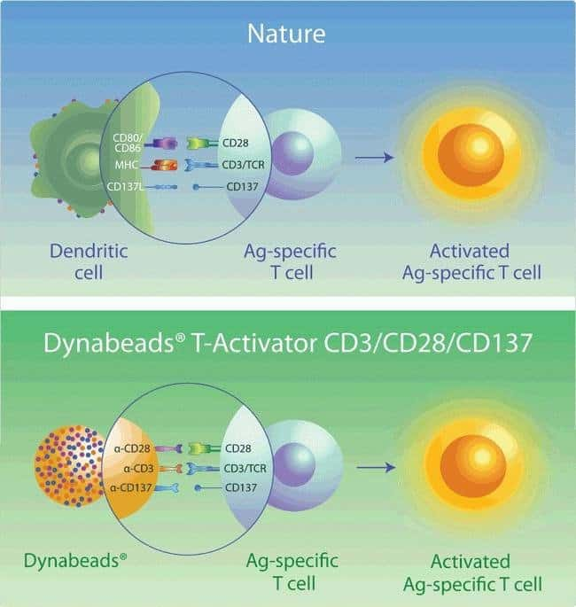 The principle of activation and expansion of Ag-specific cells with Dynabeads®