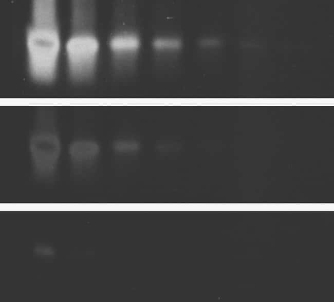 Comparison of single-stranded oligonucleotide detection using SYBR® Green I Nucleic Acid Gel Stain and ethidium bromide.