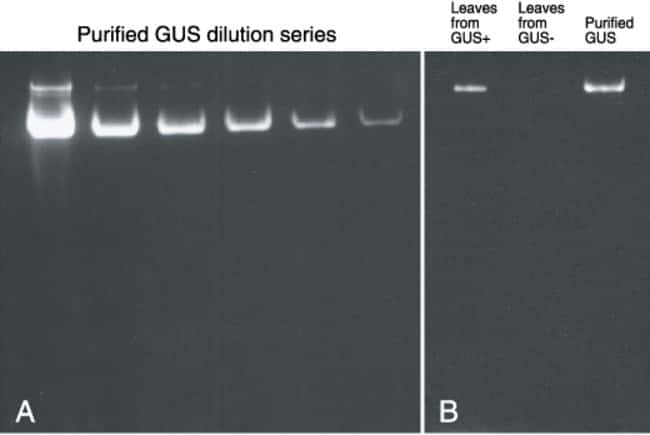 In situ gel assay of β-d-glucuronidase activity with ELF® 97 β-d-glucuronide.