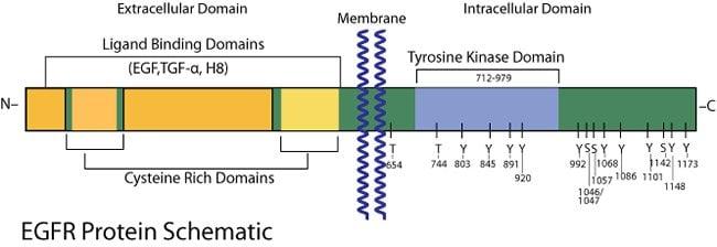 EGF Receptor (EGFR) Protein Schematic.