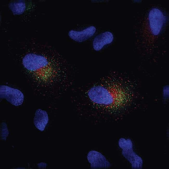 Live-cell imaging with CellLight™ Early Endosomes-RFP and Mitochondria-GFP in HeLa cells. HeLa cells were transduced with CellLight™ Endosomes-RFP (Cat. No. C10587) and Mitochondria-GFP (Cat. No. C106