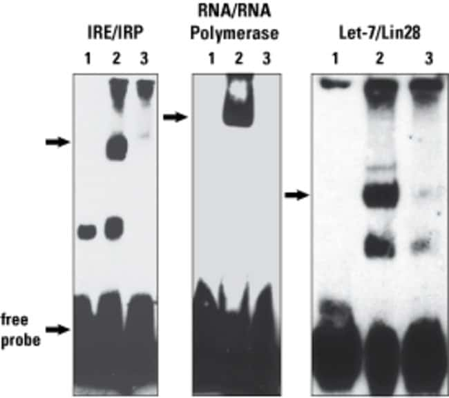 Iron response element (IRE), RNA Polymerase, and Let-7 RNA probes were biotinylated using the Pierce RNA 3' End Biotinylation Kit. Each biotinylated RNA probe (5-10nM) was tested for functionality in
