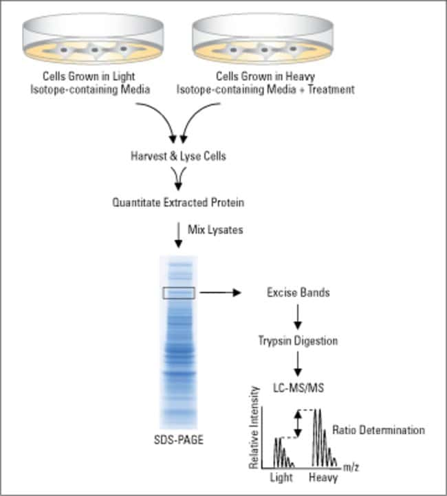 Stable isotope labeling with amino acids in cell culture (SILAC) requires growing mammalian cells in specialized media deficient in lysine and arginine. This deficiency is compensated by adding light