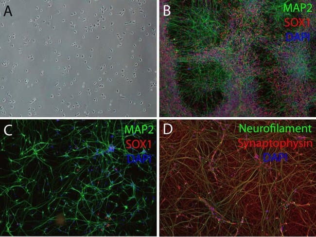Treatment with CultureOne Supplement improves differentiation of hPSC-derived NSCs into neurons