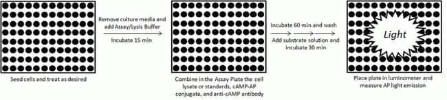 cAMP-Screen cAMP Immunoassay System protocol