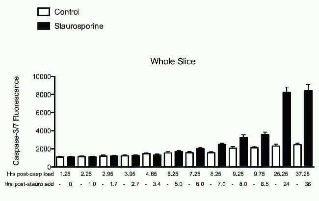 Apoptosis detection in Rat Hippocampus Slice Cultures