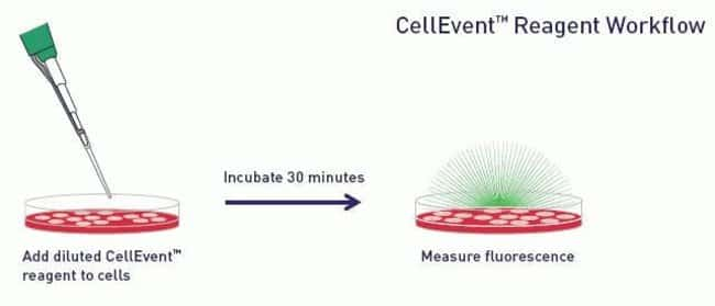 Workflow for the CellEvent Caspase-3/7 Green Detection Reagent