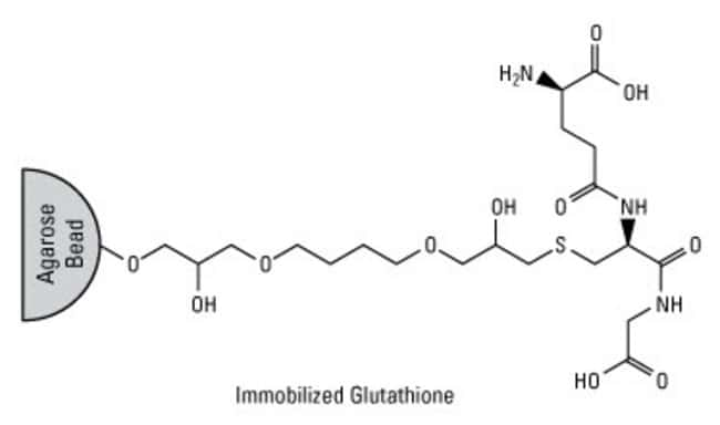 Chemical structure of immobilized GSH (Glutathione Agarose)