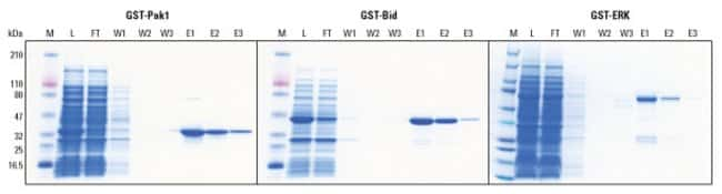 High quality purification of different GST fusion proteins using Glutathione Agarose