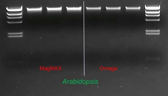 Pure DNA obtained from Arabidopsis