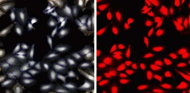 HeLa Cells labeled with 2 µg/mL HCS CellMask™ Red Stain