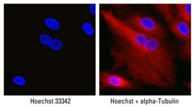A549 human lung cancer cells were grown on 96-well plates, fixed with paraformaldehyde and permeabilized for 15 minutes. Cells were incubated for 30 minutes at room temperature with mouse anti-hu