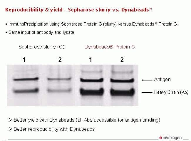 Immunoprecipitation Reproducibility and Yield Comparison
