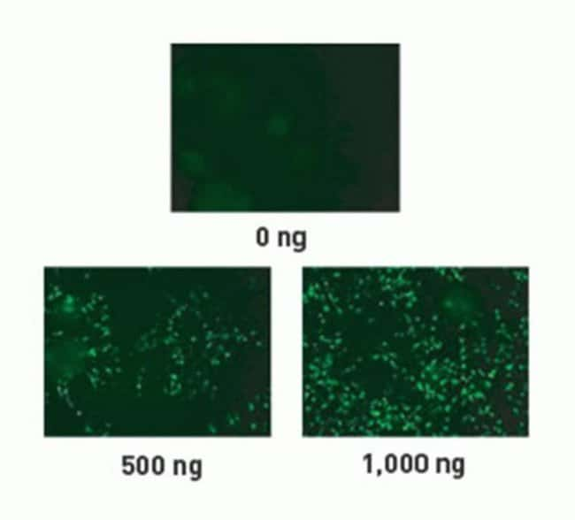 Lipofectamine® LTX Reagent, with Plus™ Reagent, efficiently transfects primary neural progenitor cells