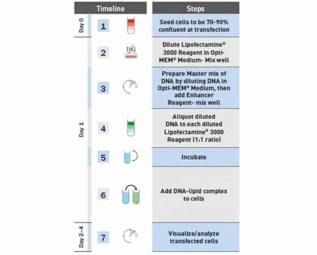 Lipofectamine® 3000 transfection workflow