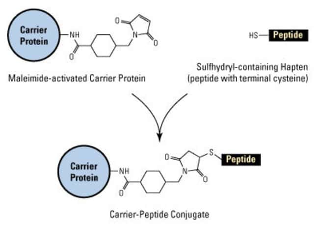 Structure and conjugation reaction scheme of Imject Maleimide-Activated carrier protein