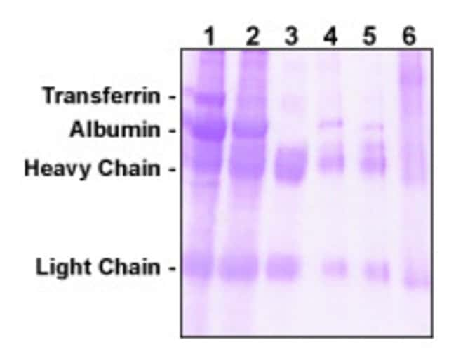 The Melon Gel Kit provides better antibody recovery and purity from cell culture supernatant than Protein G