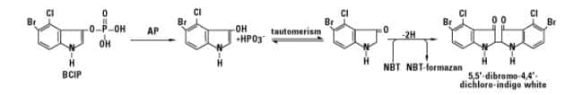 Chemical reaction of NBT and BCIP substrates with alkaline phosphatase