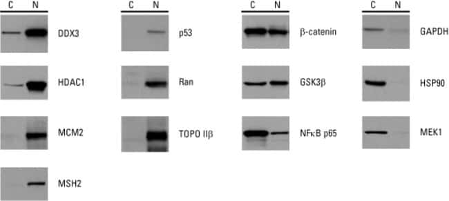 Western blots of specific proteins fractionated using NE-PER into cytosolic extracts (C) and nuclear extracts (N)