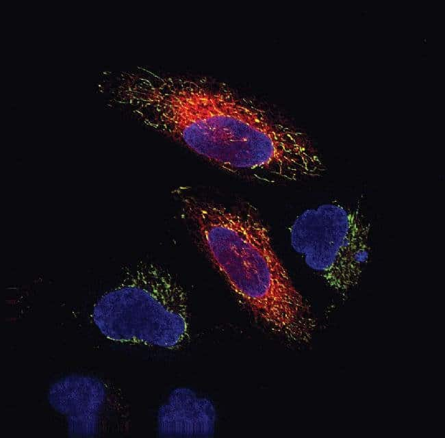 Live-cell imaging with Organelle Lights™ ER-RFP and MitoTracker® Deep Red FM in HeLa cells. HeLa cells were transduced with Organelle Lights™ ER-RFP and co-stained with 50 nM MitoTracker® Deep Red FM and 1 mg/ml Hoechst 33342. Imaging was performed on live cells using a Delta Vision Core microscope and standard DAPI/TRITC/Cy5 filter sets.