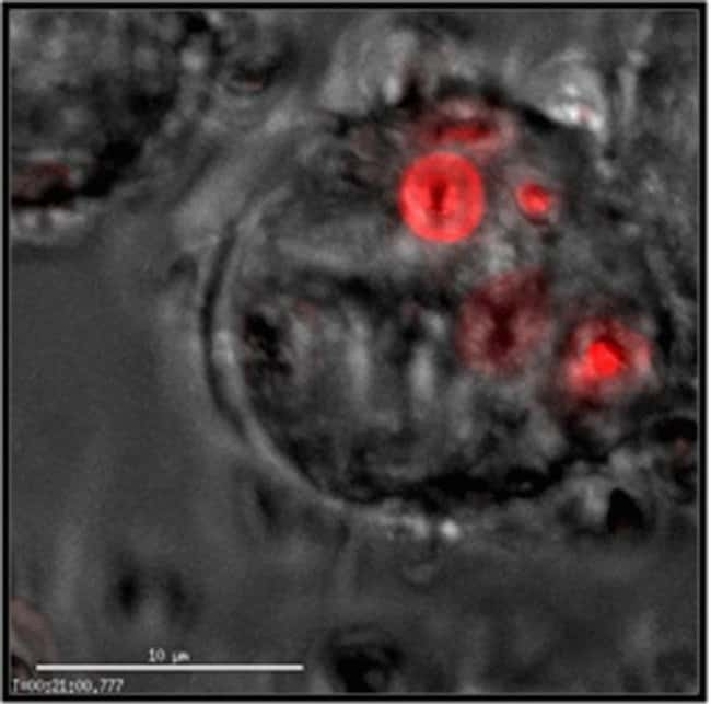 MMM macrophage cells were plated in complete medium and left overnight in cell culture.  The following day, cells were rinsed 1X with Live Cell Imaging Solution (catalog # A14291DJ). pHrodo™ Red Zymos