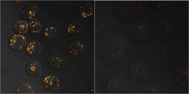 A431 cells were loaded with 25 µg/mL pHrodo™ Red Transferrin Conjugate (Cat. No. P35376) at 37°C for 15 minutes.  Cells on the right were pretreated with 250 µg/mL unlabeled transferrin, which interna