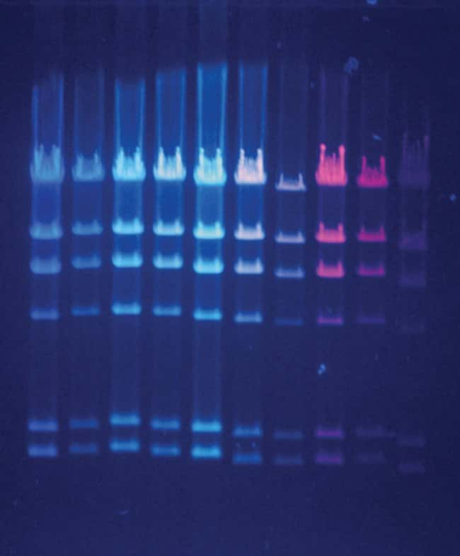 Bacteriophage HindIII fragments were prestained with various nucleic acid dyes, run on a 0.7% agarose gel and visualized using a standard 300 nm UV transilluminator. From left to right, the dyes used