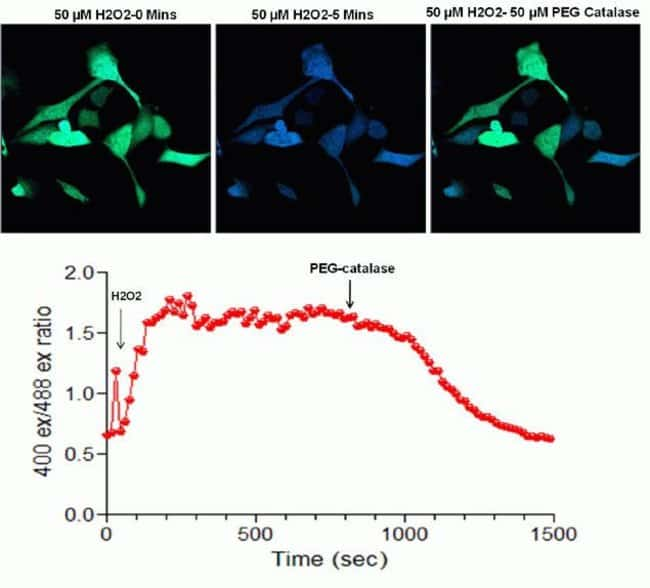 Cellular hydrogen peroxide detection in U2-OS cells using Premo™ Cellular Hydrogen Peroxide Sensor