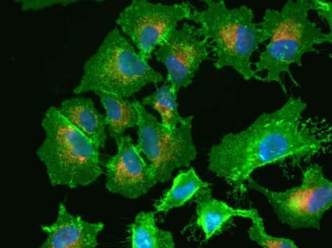 HeLa cell plasma membrane staining using CellMask™ Green Plasma Membrane Stain