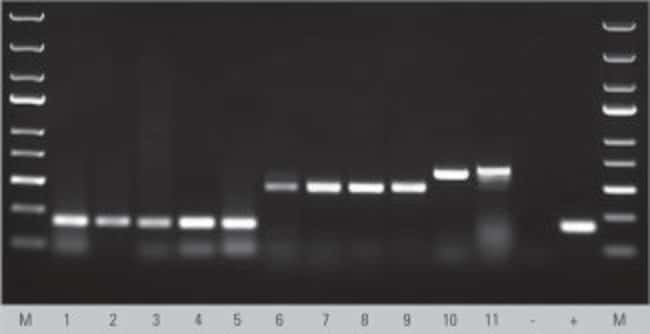 Robust amplification from variety of human and animal tissue samples