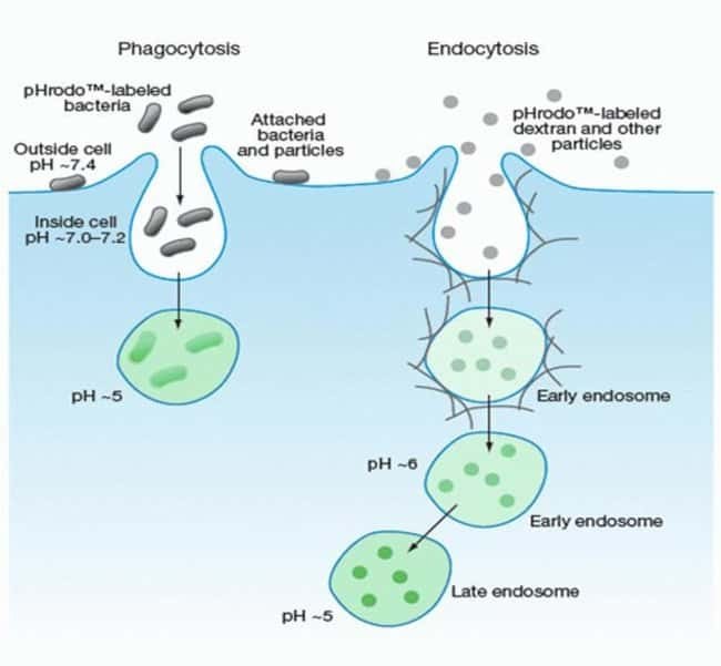Schematic of pHrodo™ dye-based Detection of Phagocytosis and Endocytosis