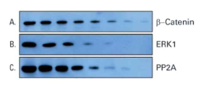 Obtain excellent detection of target proteins with ECL Plus Substrate