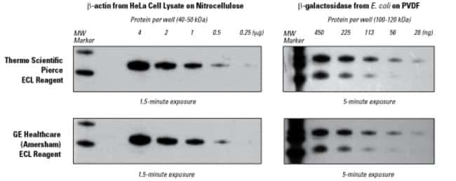 ECL Western Blotting Substrate for detection of proteins on nitrocellulose or PVDF