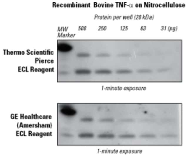 ECL Substrate Western blot detection of recombinant protein