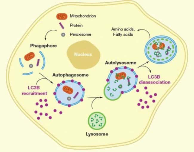 Schematic depiction of the autophagy pathway in a eukaryotic cell.