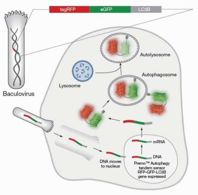 "The use of the Premoâ""¢ Autophagy Tandem Sensor RFP-GFP-LC3B allows for an enhanced dissection of the maturation of the autophagosome to the autolysosome. By combining an acid-sensitive GFP with an acid insensitive RFP, the change from autophagosome (neutral pH) to autolysosome (with an acidic pH) can be visualized by imaging the specific loss of the GFP fluorescence, leaving only red fluorescence."