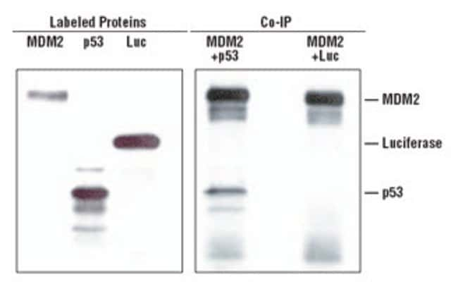 Easy Co-Immunoprecipitation of p53 and MDM2 proteins